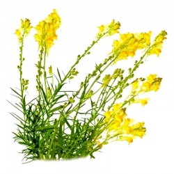Toadflax leaves (Linaria vulgaris)