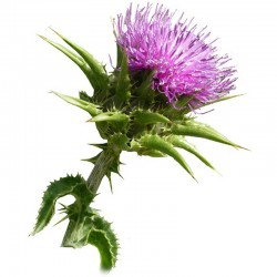 Milk Thistle seeds - 100g