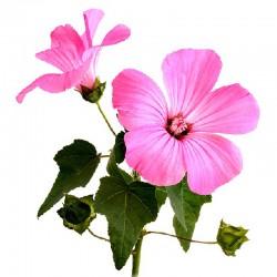 Ślaz dziki kwiat - 50g