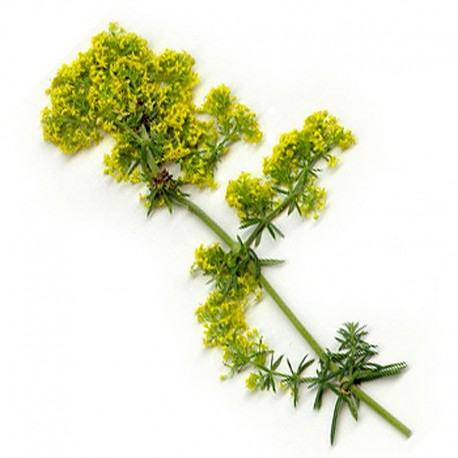 Svízel syřišťový (Galium verum)