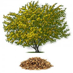 American witch-hazel (Hamamelis virginiana)