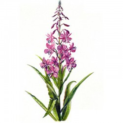 Rosebay willowherb (Chamaerion angustifolium)