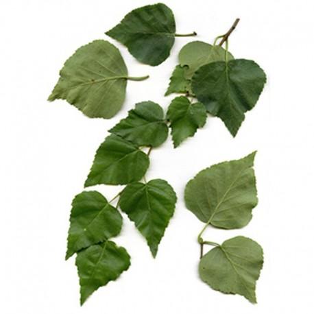 Bříza bělokorá list (Folium Betulae pendulae)