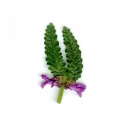 Bukvice lékařská (Betonica officinalis)