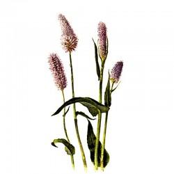 Persicaria bistorta root - 50g
