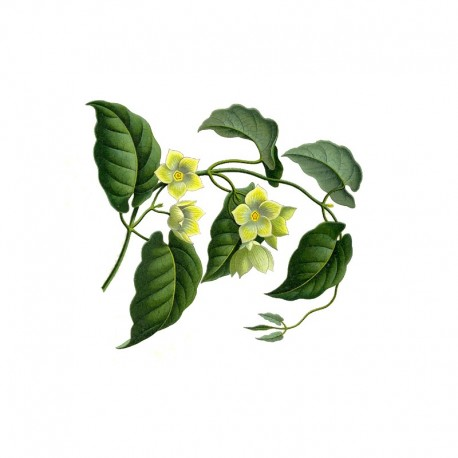 Kondurango - Marsdénie kondurangová (Marsdenia condurango)