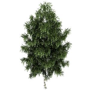 Breza bielokôrá (Betula pendula)