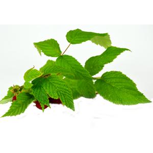 Maliník obecný / Ostružiník maliník (Rubus idaeus Linné)