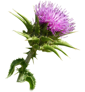Milk Thistle Oil - 250ml