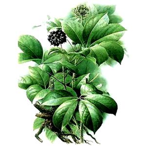 Thorn Plant - Eleuterococcus senticosus