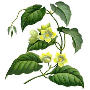 Marsdénia kondurangová (Marsdenia condurango)