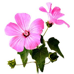 SLÉZ MAURSKÝ (Malva mauritiana) Květ(Flos malvae)