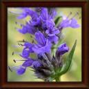 YZOP LÉKAŘSKÝ - NAŤ (Herba hyssopi officinalis)