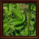 ŘEPÍK LÉKAŘSKÝ/Repík lekársky (Agrimonia eupatoria) - list