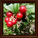 BRUSINKA/Brusnica pravá - PLOD (Fructus vitis-idaei)