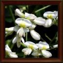 JERLÍN JAPONSKÝ/Sofora japonská - KVĚT (Flos sophorae japonicae)