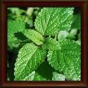 MEDUŇKA LÉKAŘSKÁ/Medovka lekárska - NAŤ (Herba melissae officinalis)