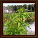 DVOUZUBEC TROJDÍLNÝ - NAŤ (Herba bidentii tripartita)