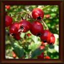 HLOH OBECNÝ - SUŠENÝ PLOD (Fructus crataegi oxyacantha)