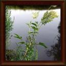 TUŽEBNÍK JILMOVÝ - SUŠENÁ NAŤ (Herba filipendula ulmaria)
