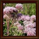SADEC KONOPÁČ - sušená nať (Herba eupatoriae cannabinum)