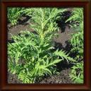 LEUZEA/MARAL/PARCHA - Sušený list (Folium leuzea carthamoides)