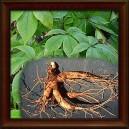 Eleuterokok ostnitý kořen - 50g