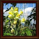 LNICE KVĚTEL - Sušená nať (Herba linaria vulgaris)