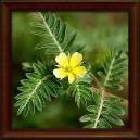 KOTVIČNÍK ZEMNÍ - Sušená nať (Herba tribuli terrestris)