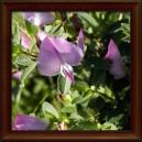 Jehlice trnitá (Ononis spinosa)