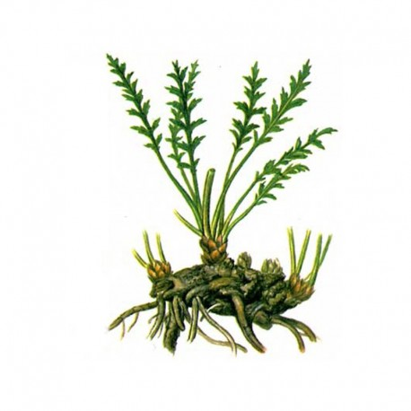 LEUZEA/MARAL/PARCHA (Leuzea carthamoides)