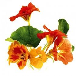 Garden nasturtium seeds - 50g