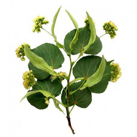 Small-leaved lime (Tilia cordata)