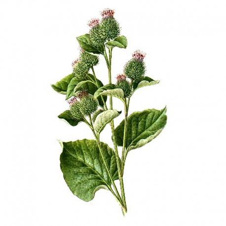 Filz-Klette (Arctium tomentosum)
