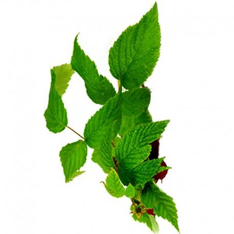 Malina właściwa (Rubus idaeus)