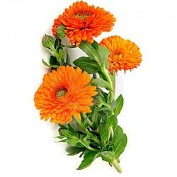 Nagietek lekarski kwiat - 50g