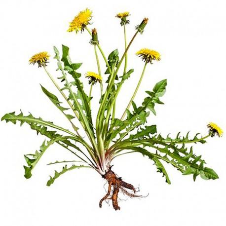Pampeliška - Smetánka lékařská (Taraxacum offcinale)