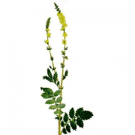 Rzepik pospolity (Agrimonia eupatoria)
