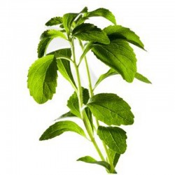 Stévie sladká (Stevia rebaudiana)