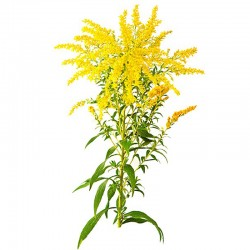 Zlatobyľ obyčajná (Solidago virgaurea)