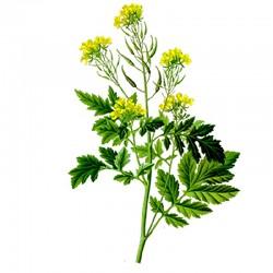 White mustard seeds - 35g
