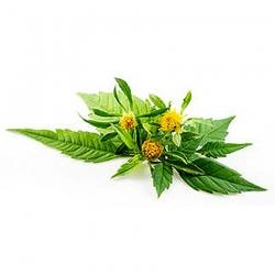 Bur Marigold (Bidens tripartita)