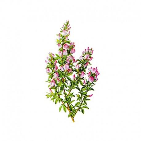 Dornige Hauhechel (Ononidis spinosa)