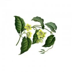 Condurango (Marsdenia condurango)