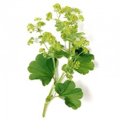 Lady's mantle leaves - 50g